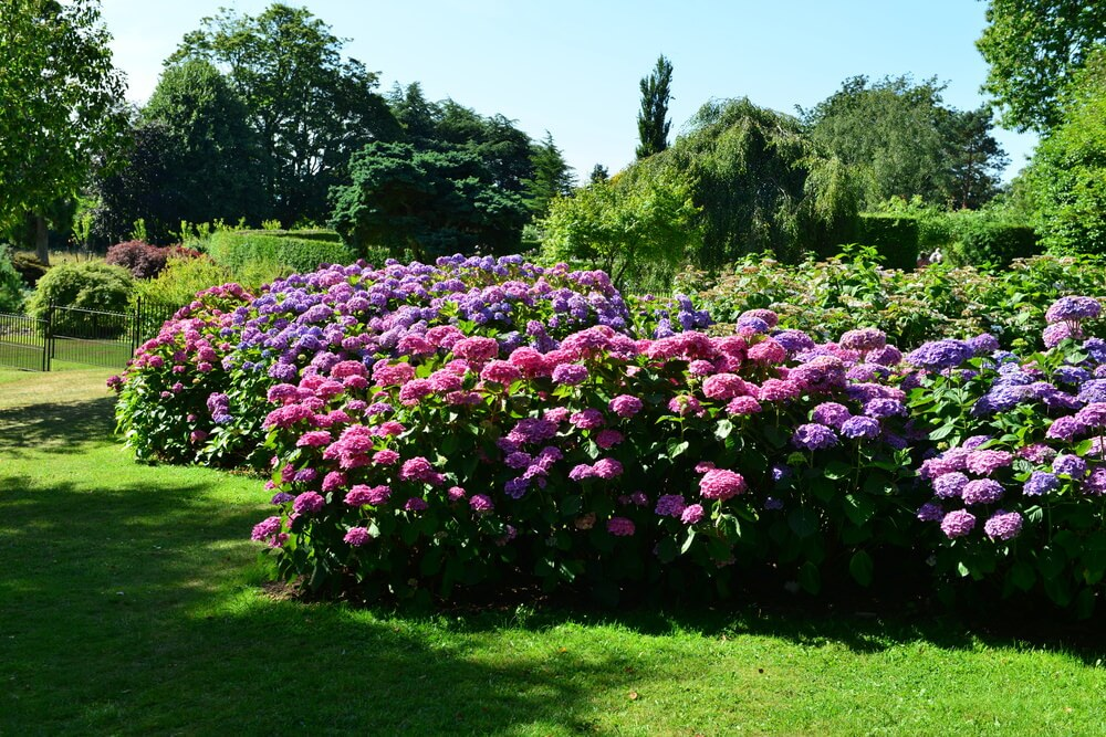 Large yard with enormous pink and purple hydrangea garden.
