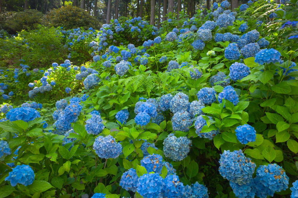 Sea of blue hydrangeas at the foot of a forest.