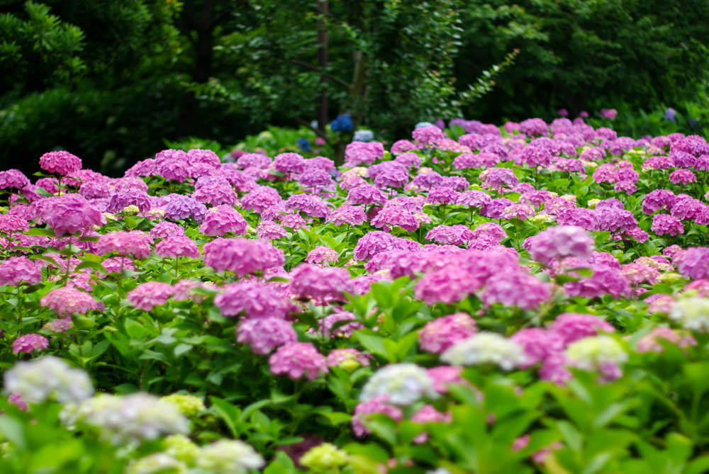 Spectacular photograph of a massive fuchsia coloured hydrangea garden.