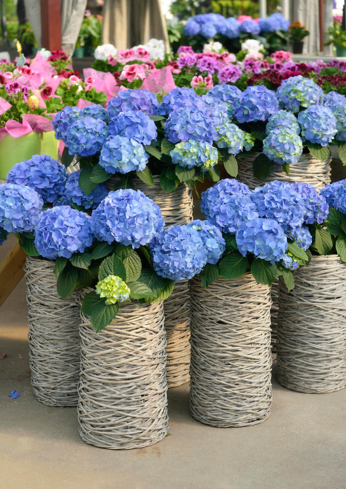 Floral Arrangements Using Hydrangeas : Hydrangea flower pot and planter arrangements photos