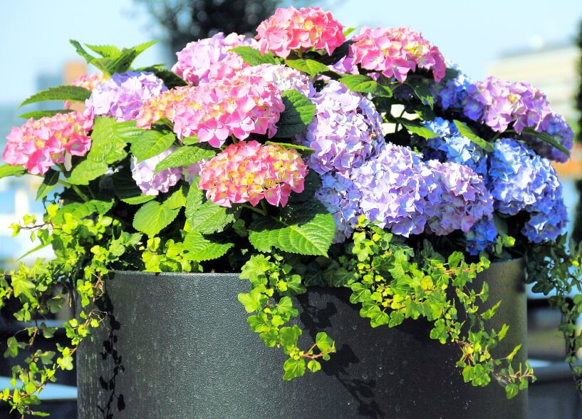 If you are using a black or dark barrel vase, it is best to mix light blue, purple and pink hydrangeas with a variety of green plants to emphasize color blends.