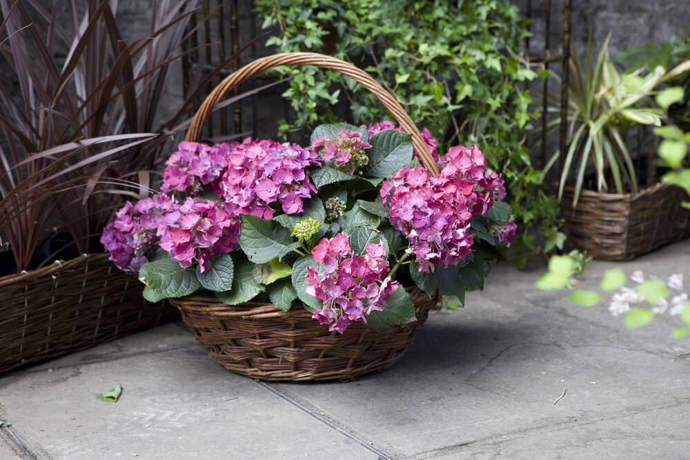 Use a basket with your hydrangeas and mimic the flower baskets used by flower girls in weddings or flower sellers in Europe.