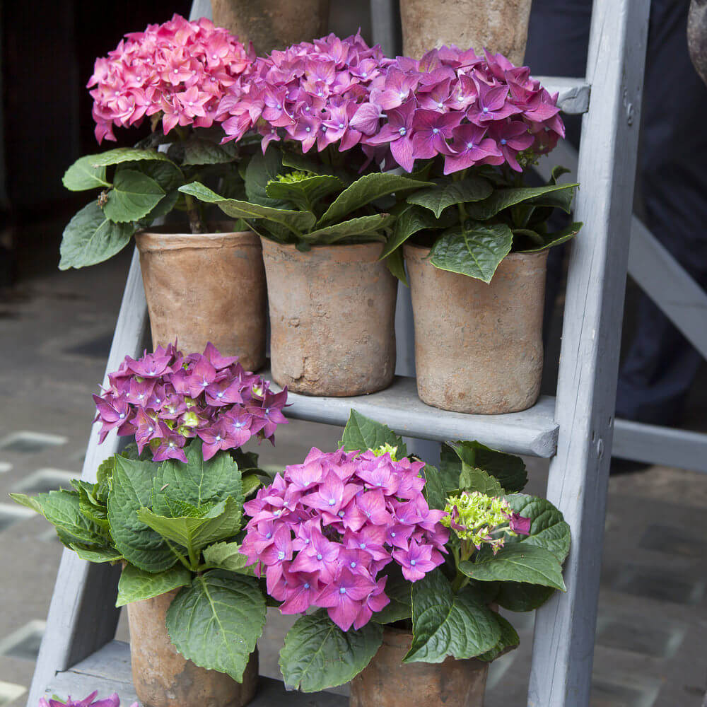 If you put your vases on a ladder like structure, you can arrange your hydrangea vases in a numbered order. Start by putting one vase in the middle in the floor, then on the first flight of the ladder, put two vases, then three, onwards. You can also do it in reverse order.