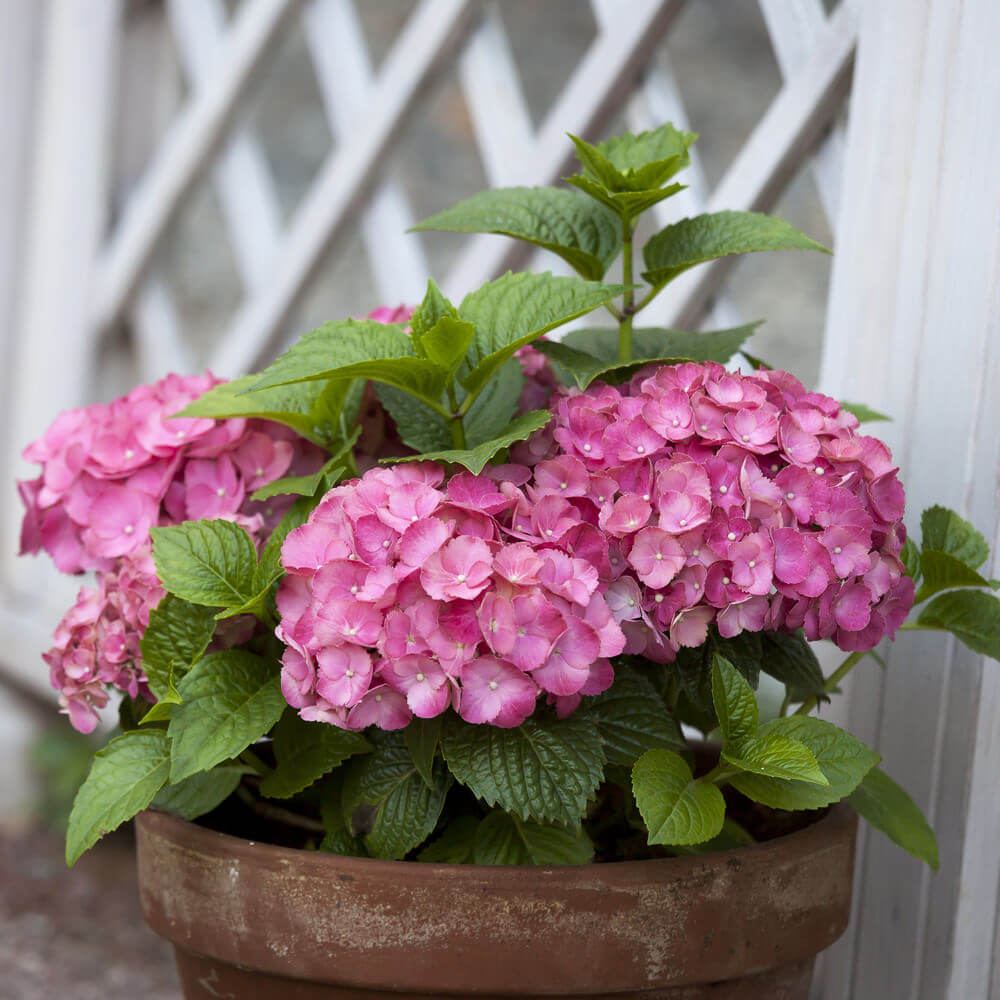 Allow your hydrangea to grow and let some of its stems grow in such a way that the fully grown blossoms are in the middle like a sandwich.