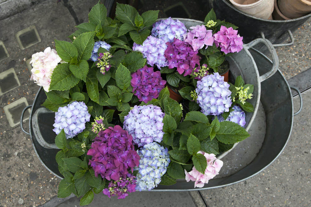 Put your hydrangeas in metal tub vases as if they are bathing in the middle of your garden or front lawn. This arrangement becomes even more eye catching if its filled with water such as on a rainy day.
