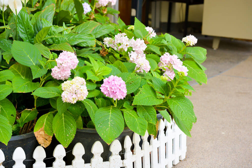 Fully grow a few hydrangeas in large pots and do not clip the leaves. This would give your garden a minimalist feel with the hydrangeas standing proudly in the midst of greens.