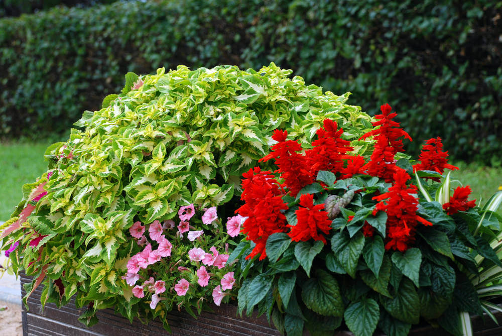 Beautiful flower box overflowing with red and pink flowers as well as a lot of bushy, leafy plants.