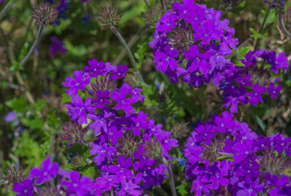 25 purple flower ideas for your garden pots and planters purple verbena flowers are erect shrubby perennials that can grow up to 6 ft tall mightylinksfo