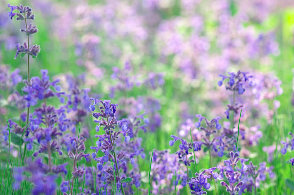 25 purple flower ideas for your garden pots and planters purple catmint flowers are related to catnips but have showier flowers and are useful in garden mightylinksfo