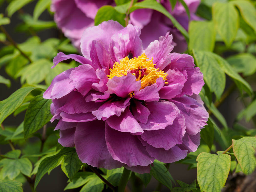 Purple Peonies are large colorful bowl-shaped flowers with dark green foliage. They are some of the longest-living garden plants taking up to 3 years to mature. These flowers are low maintenance and fragrant.