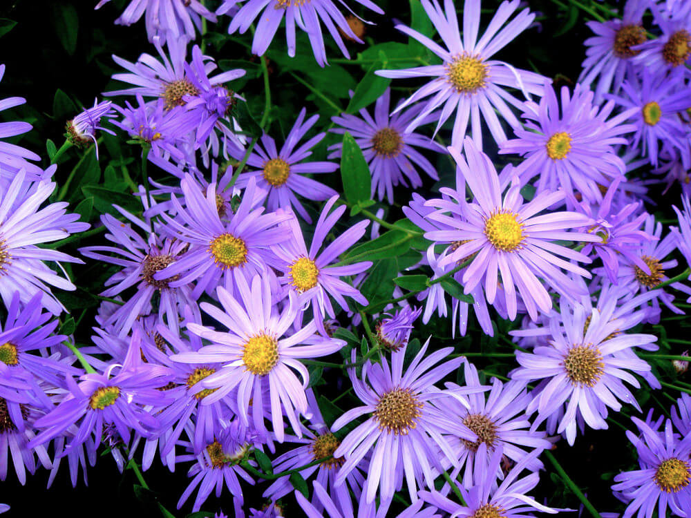 Purple Daisies are hardy perennial flowers that move around to meet the sun, opening and closing as the day starts and ends.