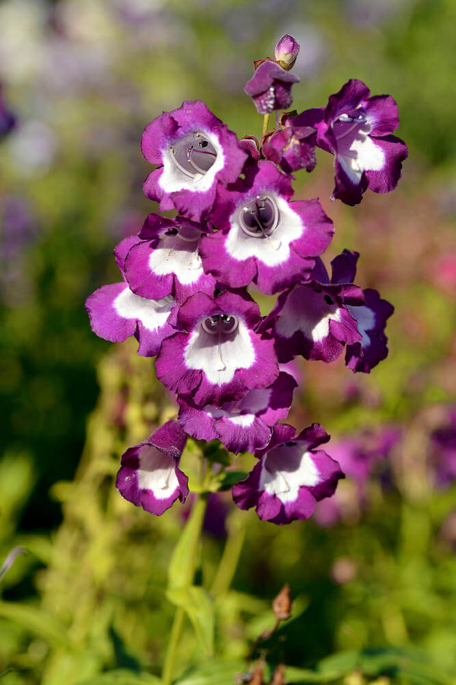 Also known as Penstemon, Purple Beardtongue flowers are native to western United States. They are tubular flowers on tall spikes and can grow 1 to 3 inches tall. They are easy to cultivate and tolerant of dry soil.