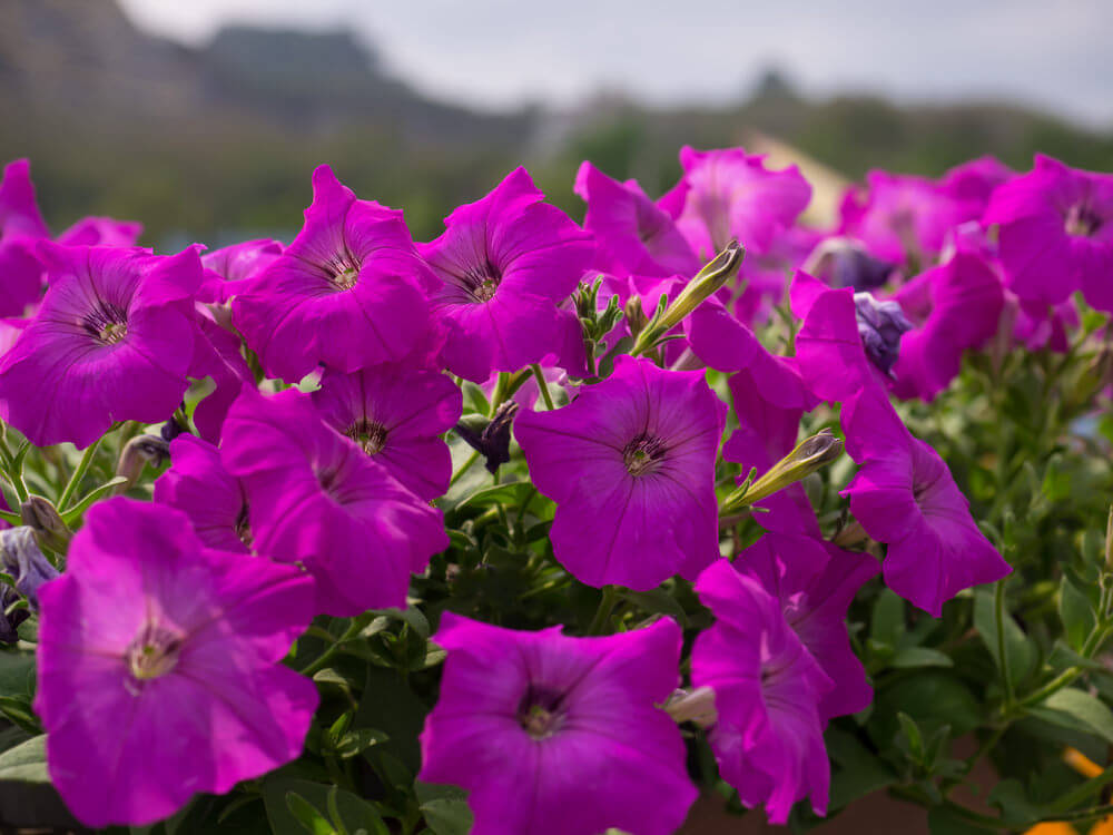 Purple Petunias are very popular and can be grown from seeds or from transplants. They are heat-tolerant and need to be spaced at least a foot apart when planted.