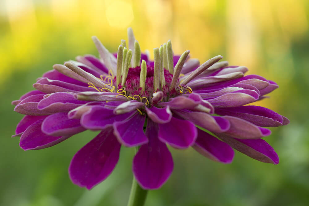 Purple Zinnias are one of the easiest to cultivate and are very popular for cut flowers. They grow quickly, bloom extravagantly, and attract butterflies.
