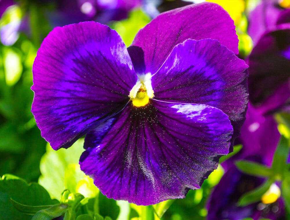 Purple Pansies are great for containers, borders, and ground covers. They have leggy growth and are hearty during cool seasons.