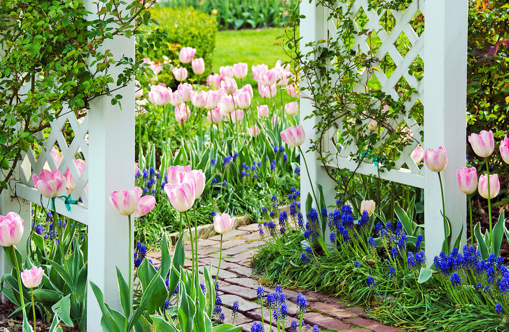Brick walkway surrounded by pink and white tulips