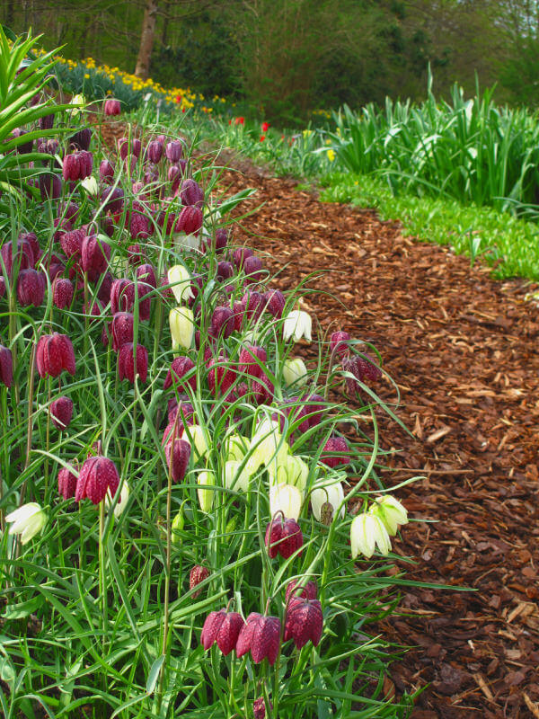 Mulch marching on an aisle while these white and maroon blossoms bow on the way.