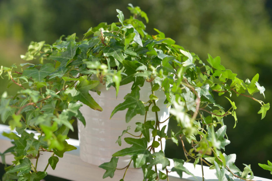 English Ivy is easy to grow and only needs partial sunlight, so it's great for growing indoors. Some studies have shown that English Ivy can improve symptoms of allergies or of asthma.