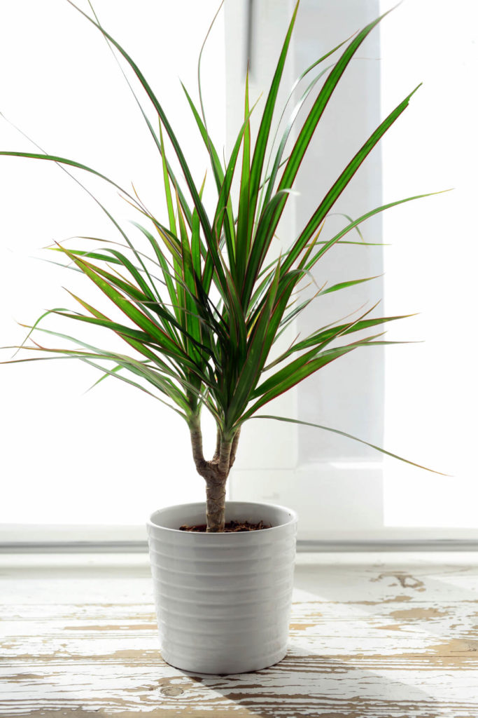 This visually pleasing and large plant is a great space-filler, since its spiky leaves expand outwards.