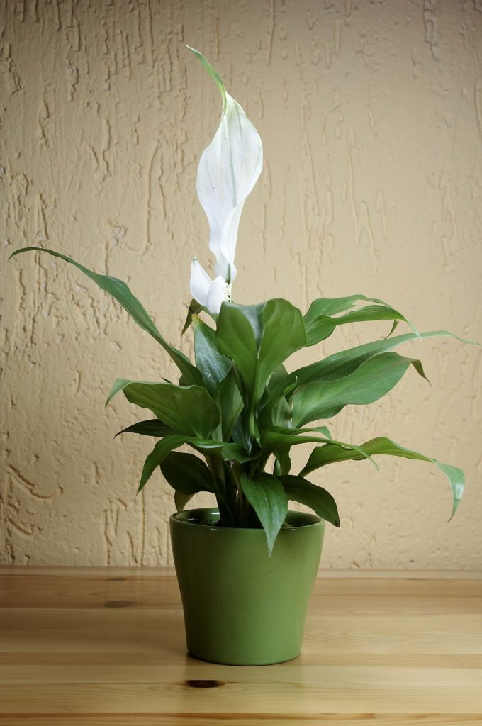 Beautiful peace lilies are known to boost a room's humidity, suppressing airborne microbes and reducing symptoms of allergies.