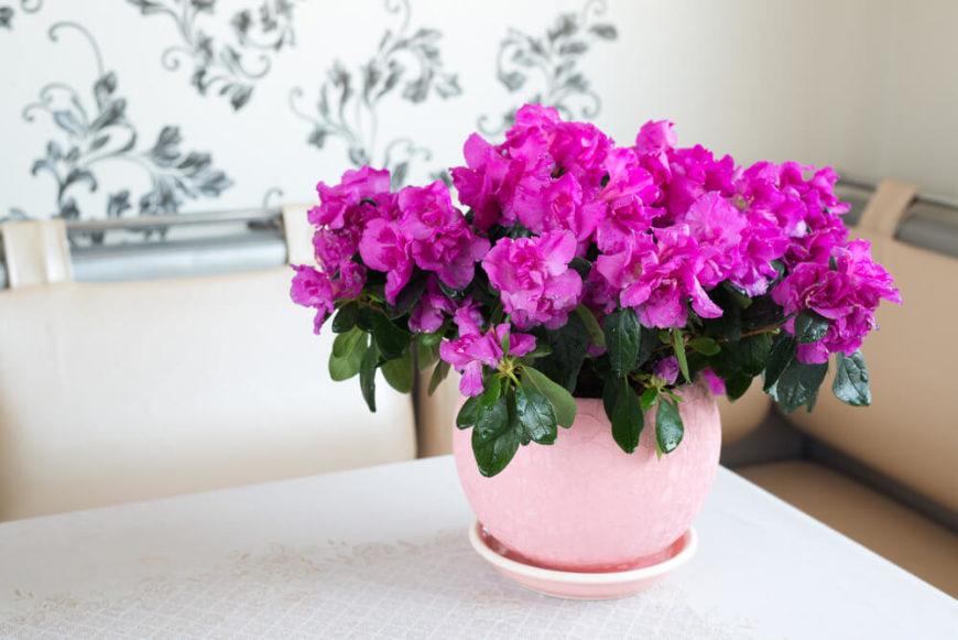 This lovely fuschia colored shrub is a great addition to your home, as it will help remove chemicals like formaldehyde, which comes from sources like plywood or foam insulation.