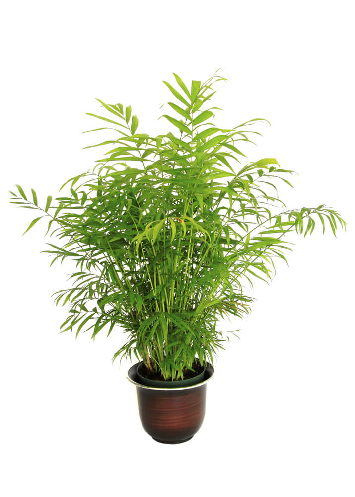 Also known as the reed palm, this small palm tree is a great indoor air purifier; they work better than air fresheners at eliminating common household odors, as well as providing you with fresh air. Bamboo Palms are easy to care for: they love moist soil and indirect sunlight.