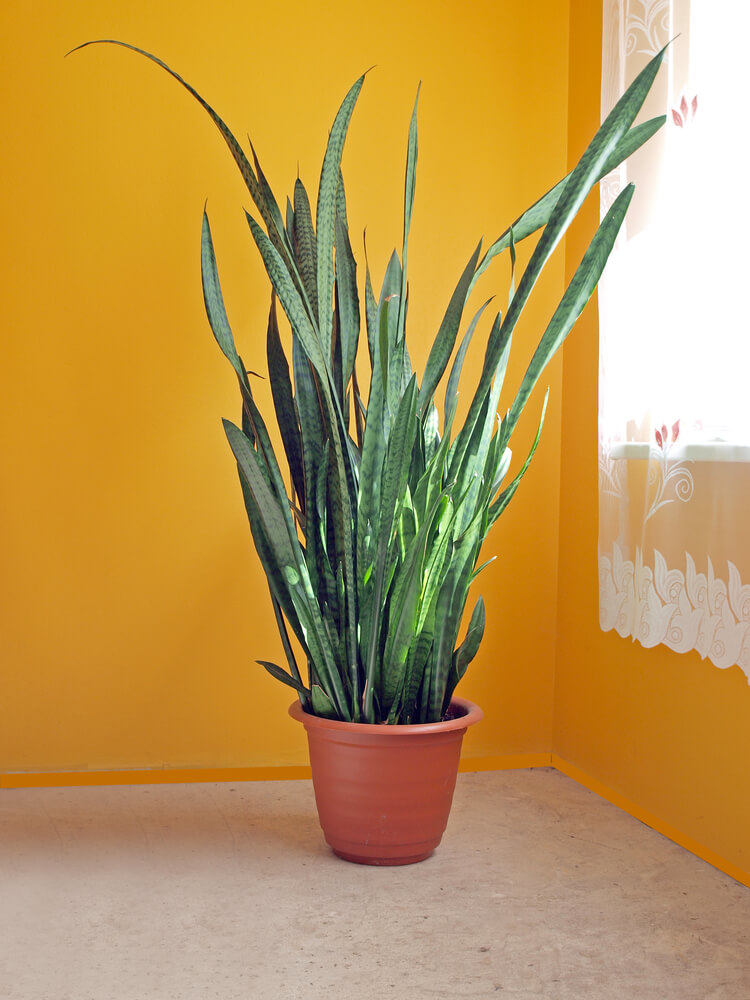 Otherwise known as Mother-In-Law's Tongue, Snake Plants are highly recommended for people who want to improve their indoor air quality--mostly because they're incredibly hardy and easy to care for. It emits increased oxygen at night, leading to a better night's sleep for you!
