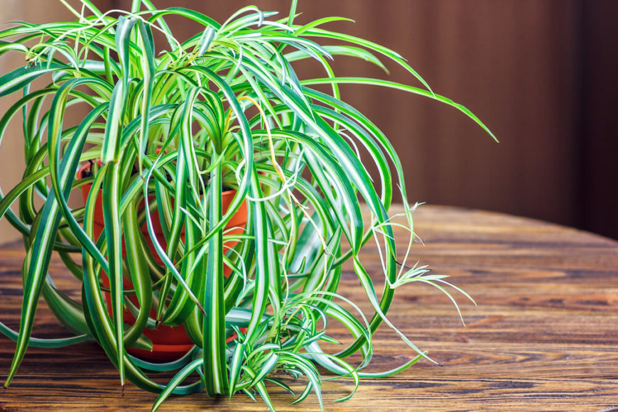 Spider plants are named for the way the long leaves drape out over the planter. NASA tests showed that these beauties remove around 90% of potentially carcinogenic formaldehyde from the air. They also do a great job at absorbing odors!