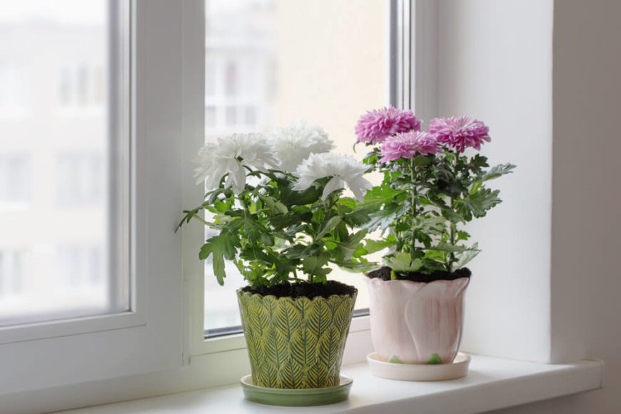 "Also called ""Pot Mums"", these beautiful flowers have huge colorful blooms that are sure to brighten any room you place them in. They are thought to help remove formaldehyde, trichloroethylene, xylene, toluene, ammonia, and benzene from the air."