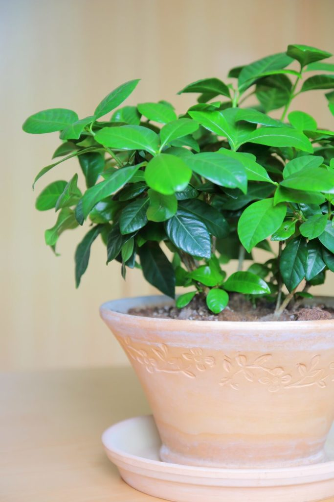 The glossy evergreen leaves and fragrant blossoms of gardenia make them a handsome choice for any room in your home. Some people claim that the plant's scent can be as effective as prescription pills in relieving anxiety and promoting sleep.