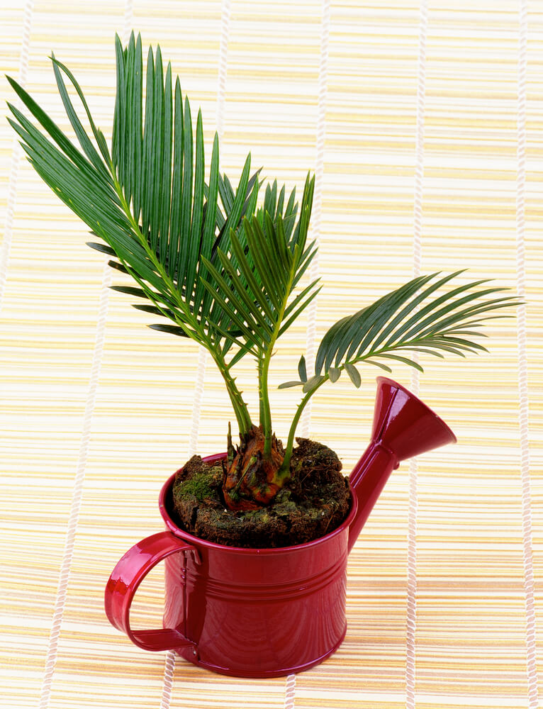 This small palm is known to purify the air, adding more oxygen to your environment and reducing carbon dioxide. It also acts as a natural humidifier, which is particularly nice during the winter months, when your home can feel dry from the heating system.
