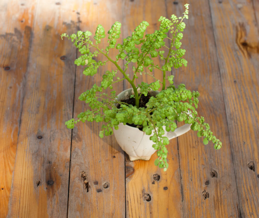 The Boston fern is rich in essential oils, flavonoids, and other substances, and is thought to help regulate your nervous system and have a calming effect, helping to lower stress.