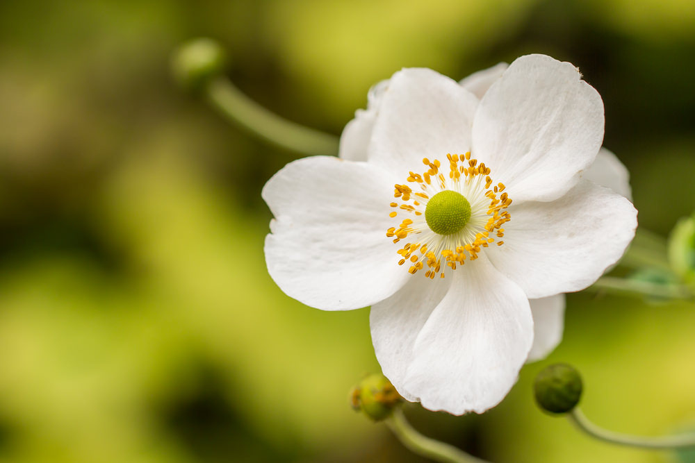 These white Anemone blossoms rise from dormancy during spring. This is a white species of Anemone that last until spring ends. The pistil and stamen are bright yellow highlighting the surrounding white petals.