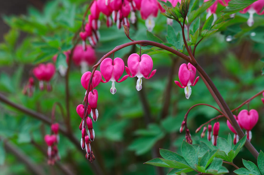 This perennial plant only blooms in spring and lasts until the spring time ends. Its blooms resemble a pink heart shape with white pulp in the center opening that hang on arching stems.