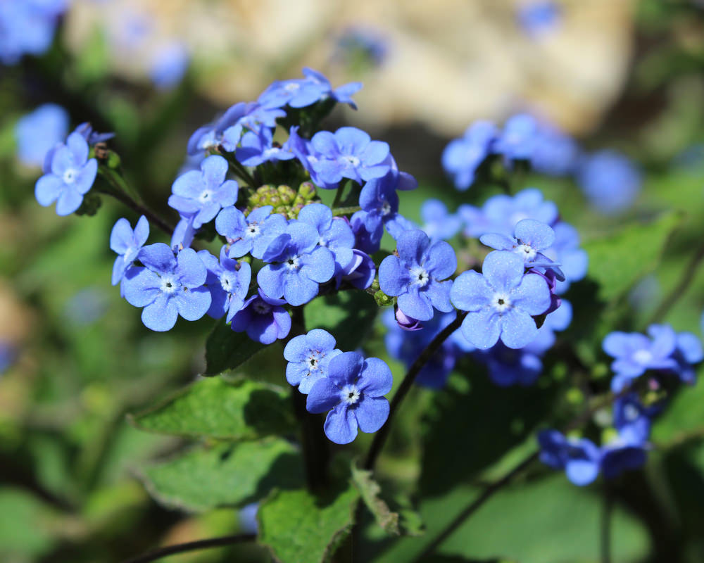 This is a forget-me-not perennial plant, which is one of the favorite shady flowers because of its nice blue tiny petals. This plant blooms in sprays of tiny flowers during spring and die in winter, but they are self-seeding plants, their characteristic that allows them to grow during spring time again.