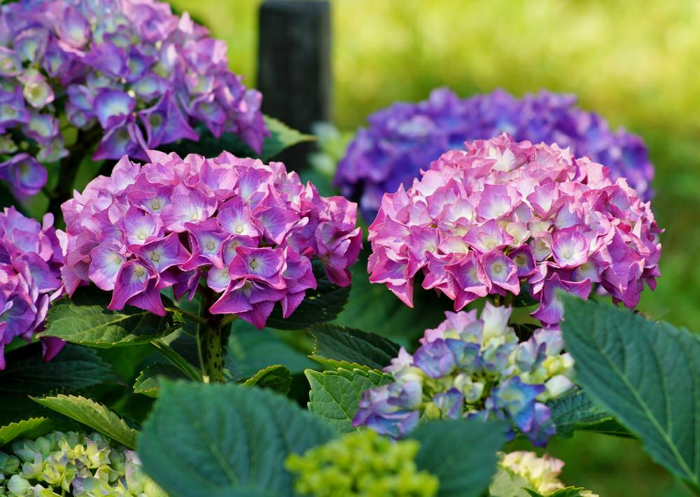 Amazingly blue, vibrant pink, frosty white and lavender blossoms in one plant and this characteristic is why this flower loved so much. This easy to cultivate blossom is active from mid-summer through fall.