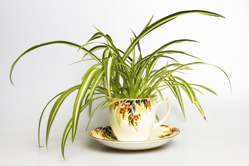Spider plants, or Chlorophytum comosun, filter formaldehyde, xylene, and toluene out of your environment. The arching leaves and small white flowers make this a great plant for hanging baskets.