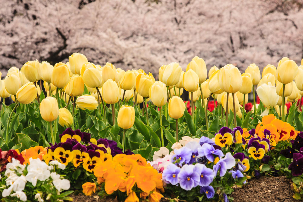 Yellow daffodils along some brighter colors of purplish, orange, and tri-colored pansies are gorgeous.