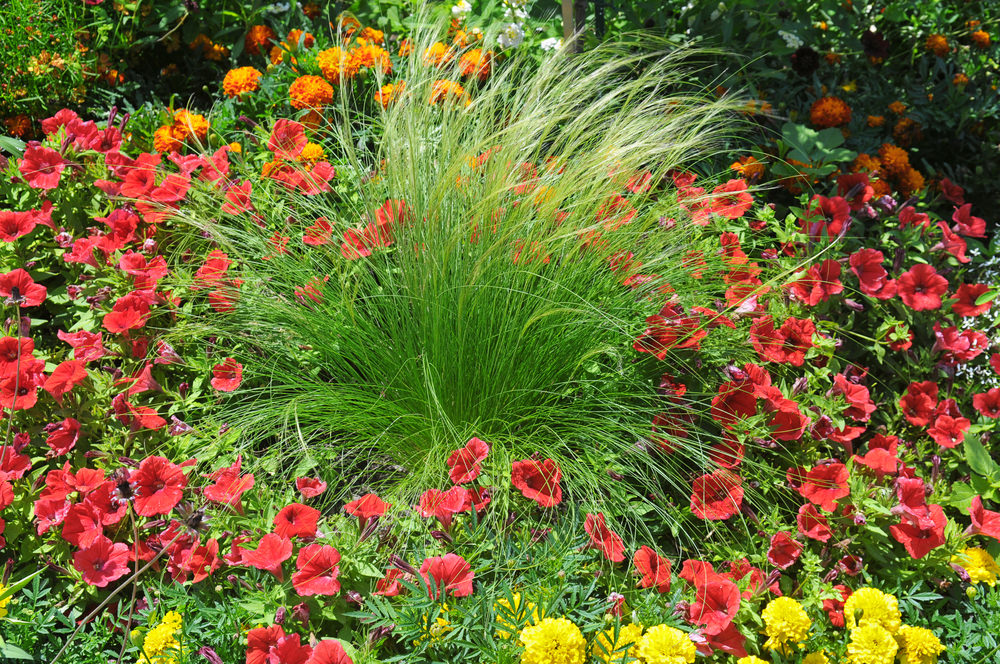 A plain looking grass turns out so decorative as it is being surrounded by red, yellow and orange blossoms of marigolds and petunias.