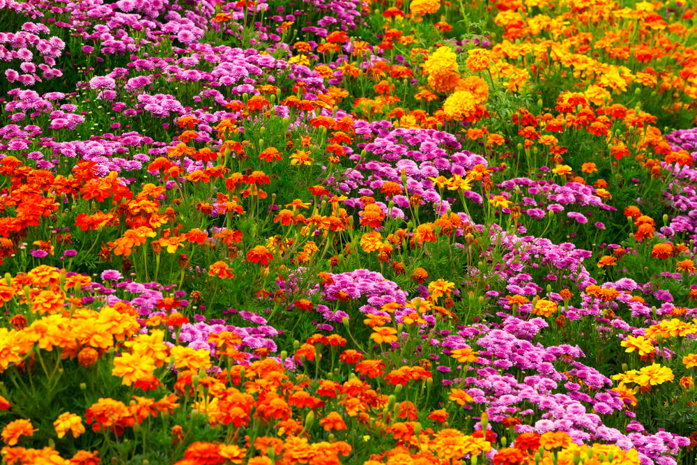 Fire like shades of marigolds give glamour and an attractive look with these purple chrysanthemums.