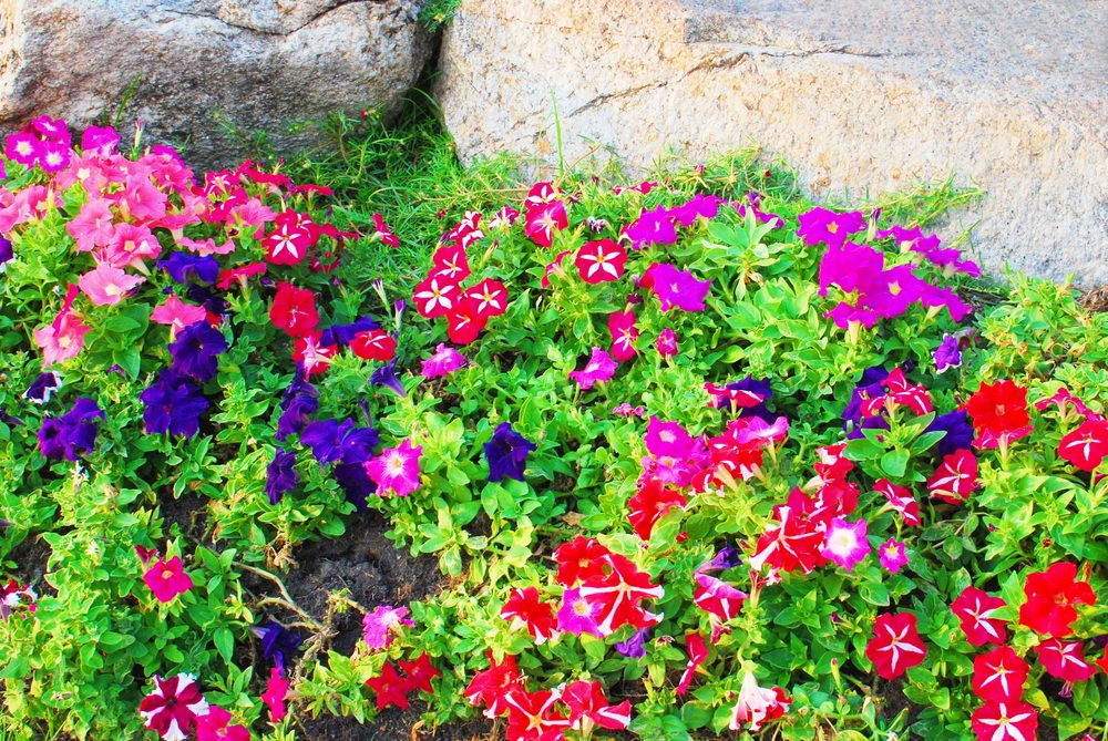A splash of petunias with different colors like purple, red and pink.