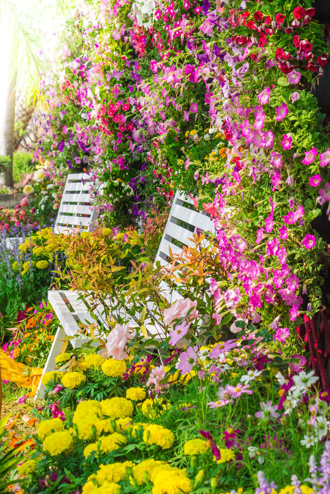This pair of garden chairs are pleasantly nipping in colorful blossoms of petunias and chrysanthemum.