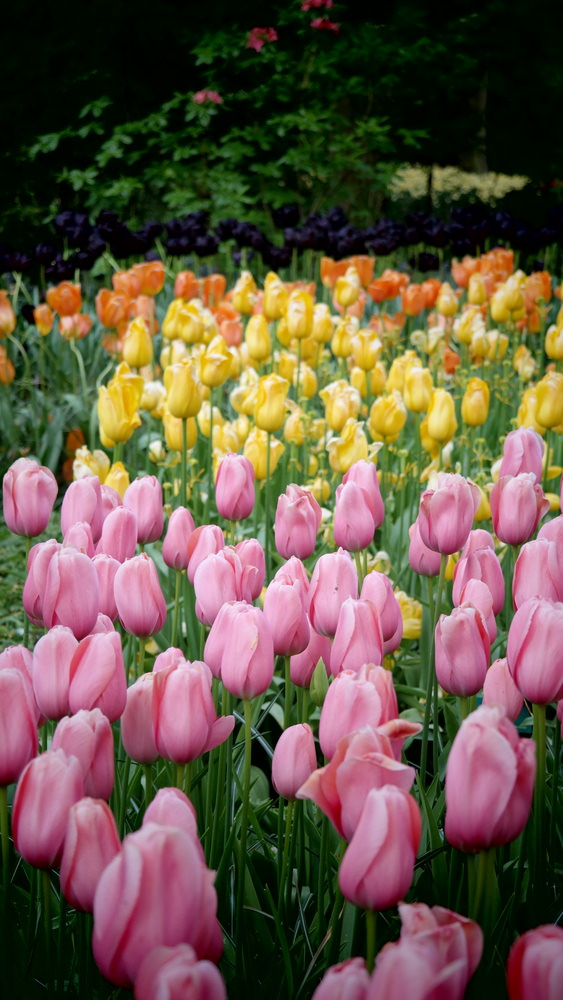 Beautiful pink, purple, yellow and orange tulips are planted in groups according to their own colors.