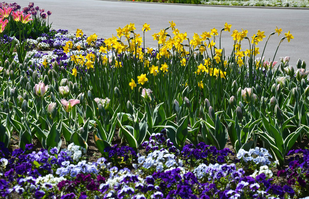 Awaiting right on the lake side are colorful batches of purple, white and yellow blossoms of daffodils and petunias.