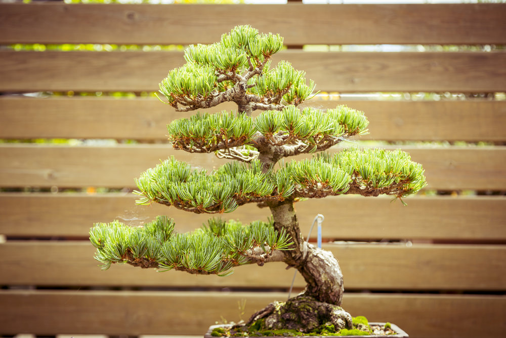 10-bonsai-tree