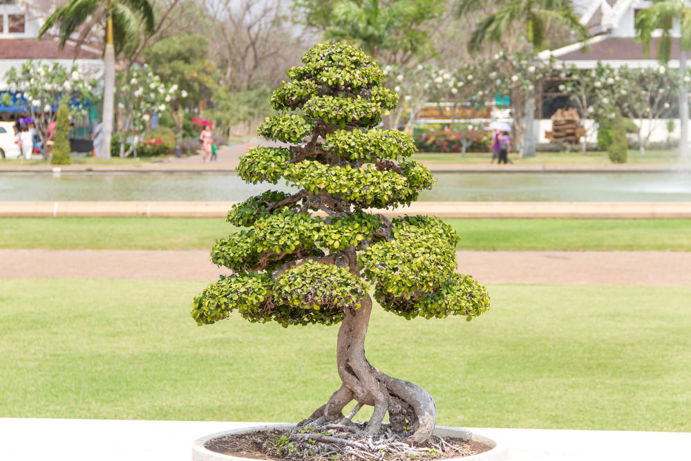 Formal Upright Bonsai Tree