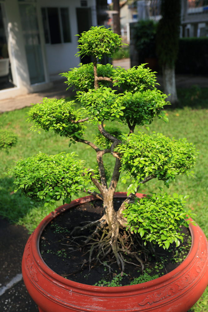 43-bonsai-tree