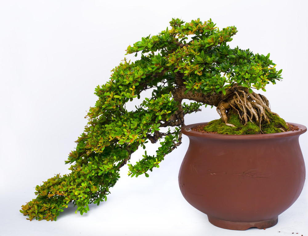 Cascading bonsai tree 2