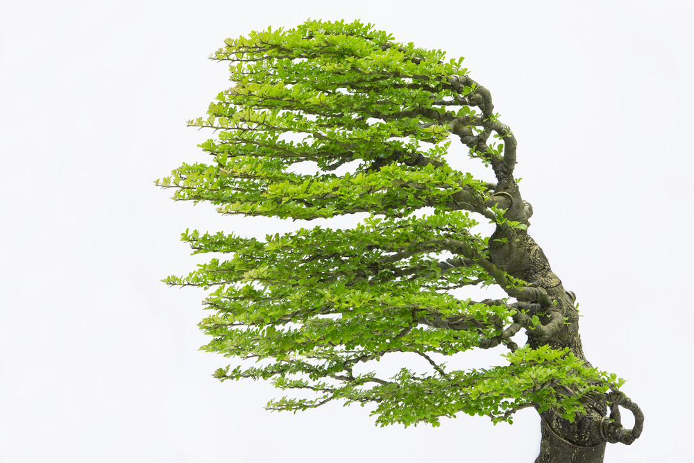 Windswept Bonsai tree example