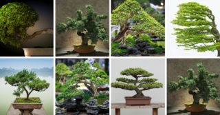 13 Types of Bonsai Trees (by Style and Shape Plus Pictures)